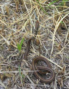 トカゲを捕食するシマヘビ
